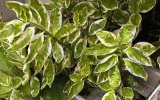 Комнатный цветок с бело зелеными листьями