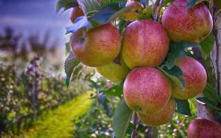Подкормка фруктовых деревьев осенью