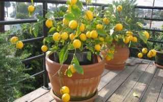 Как правильно привить лимон