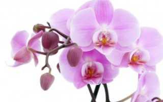 Болезни орхидей фаленопсис и их лечение