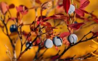 Обрезка голубики осенью