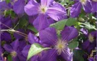 Когда садить клематисы весной или осенью
