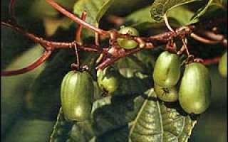 Уход за актинидией осенью
