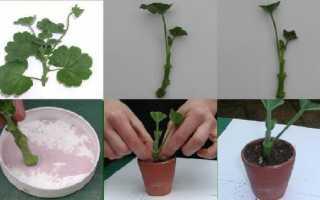Почва для герани в домашних условиях