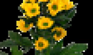 Хризантема корона
