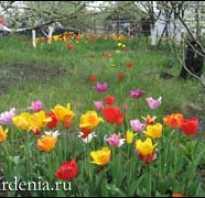 Поздняя посадка тюльпанов осенью