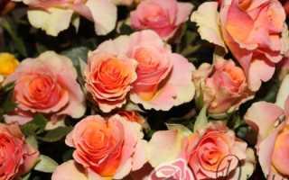 Роза тирамису