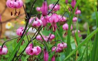 Цветы царские кудри