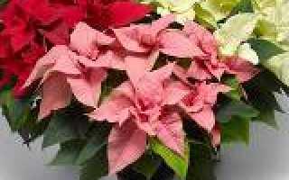 Цветок пуансеттия