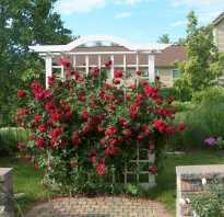 Роза quadra