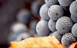 Как ухаживать за виноградом осенью