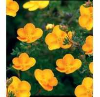 Цветок лапчатка
