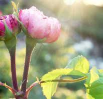Уход за розами во время цветения