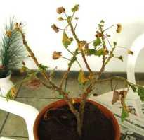 Почему у пеларгонии желтеют и сохнут листья