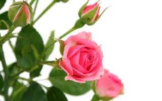 Роза цветок в горшке