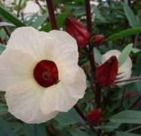 Суданская роза