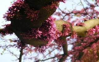 Дерево с фиолетовыми листьями