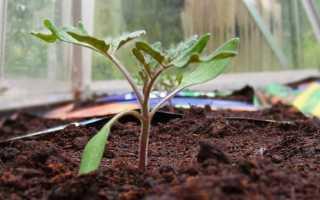 Как правильно высадить рассаду помидор в теплицу